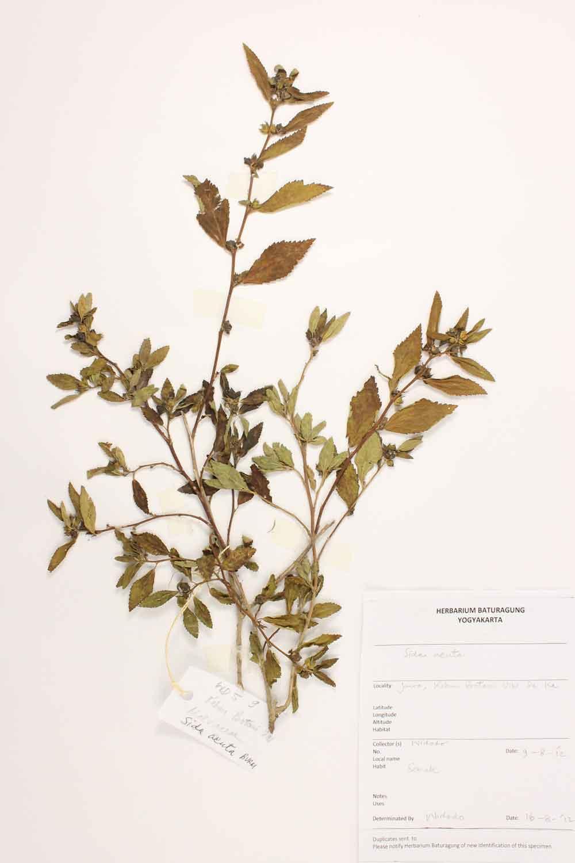 Herbarium Baturagung Yogyakarta cpIMG_0009