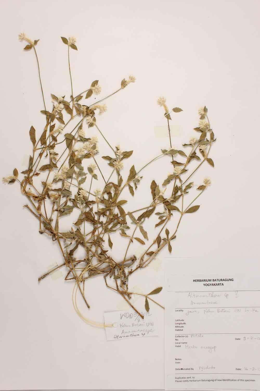 Herbarium Baturagung Yogyakarta cpIMG_0053