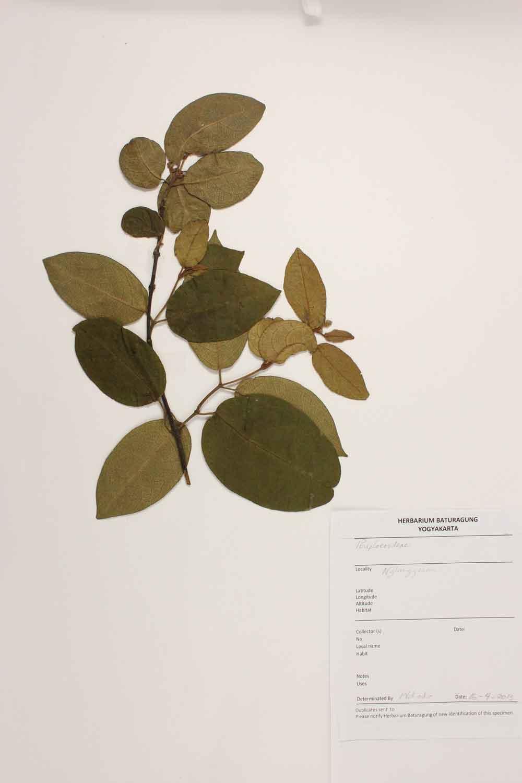 Herbarium Baturagung Yogyakarta cpIMG_0061