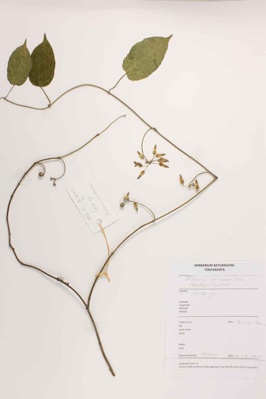 Herbarium Baturagung Yogyakarta cpIMG_0064