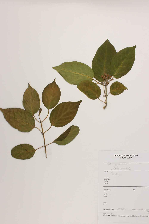 Herbarium Baturagung Yogyakarta cpIMG_0068