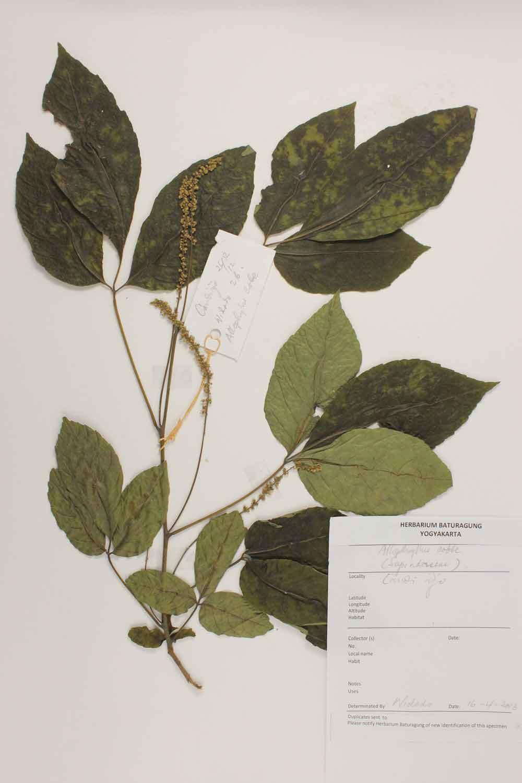 Herbarium Baturagung Yogyakarta cpIMG_0069