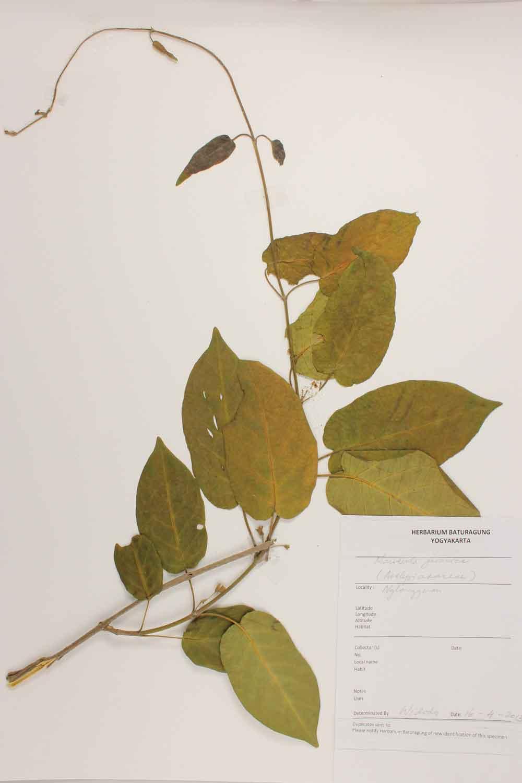 Herbarium Baturagung Yogyakarta cpIMG_0076