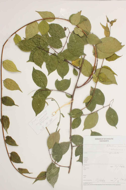 Herbarium Baturagung Yogyakarta cpIMG_0133