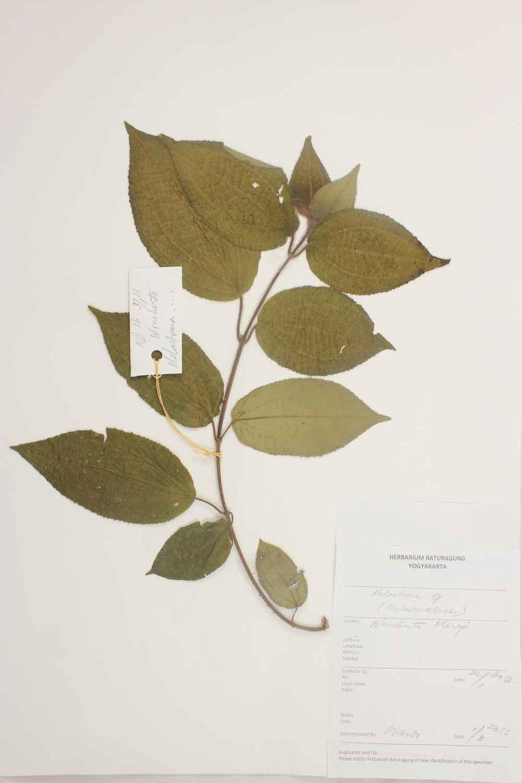 Herbarium Baturagung Yogyakarta cpIMG_0149