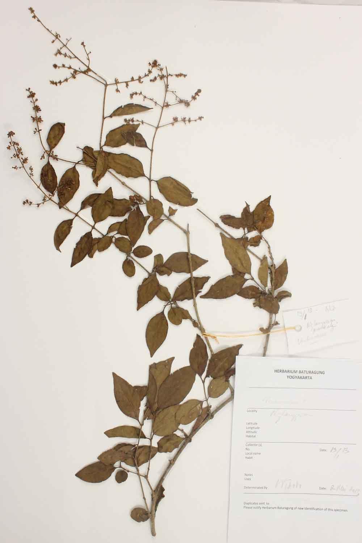 Herbarium Baturagung Yogyakarta cpIMG_0150