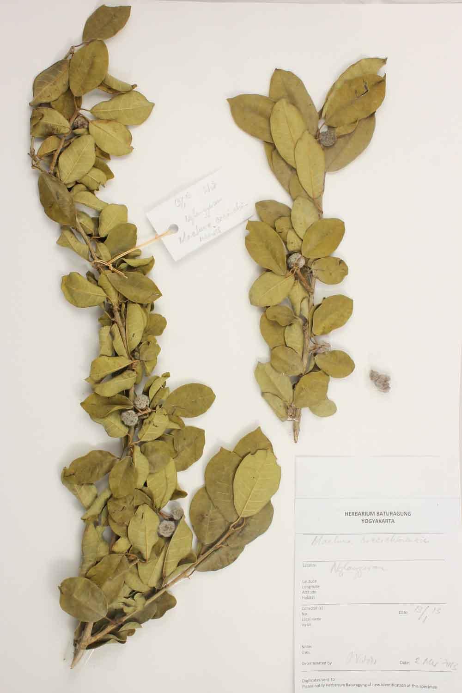 Herbarium Baturagung Yogyakarta cpIMG_0151