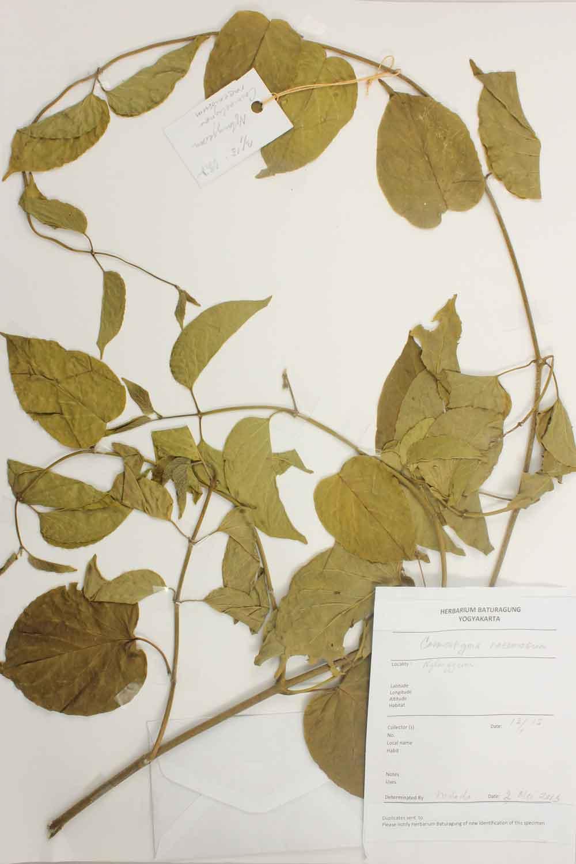 Herbarium Baturagung Yogyakarta cpIMG_0166