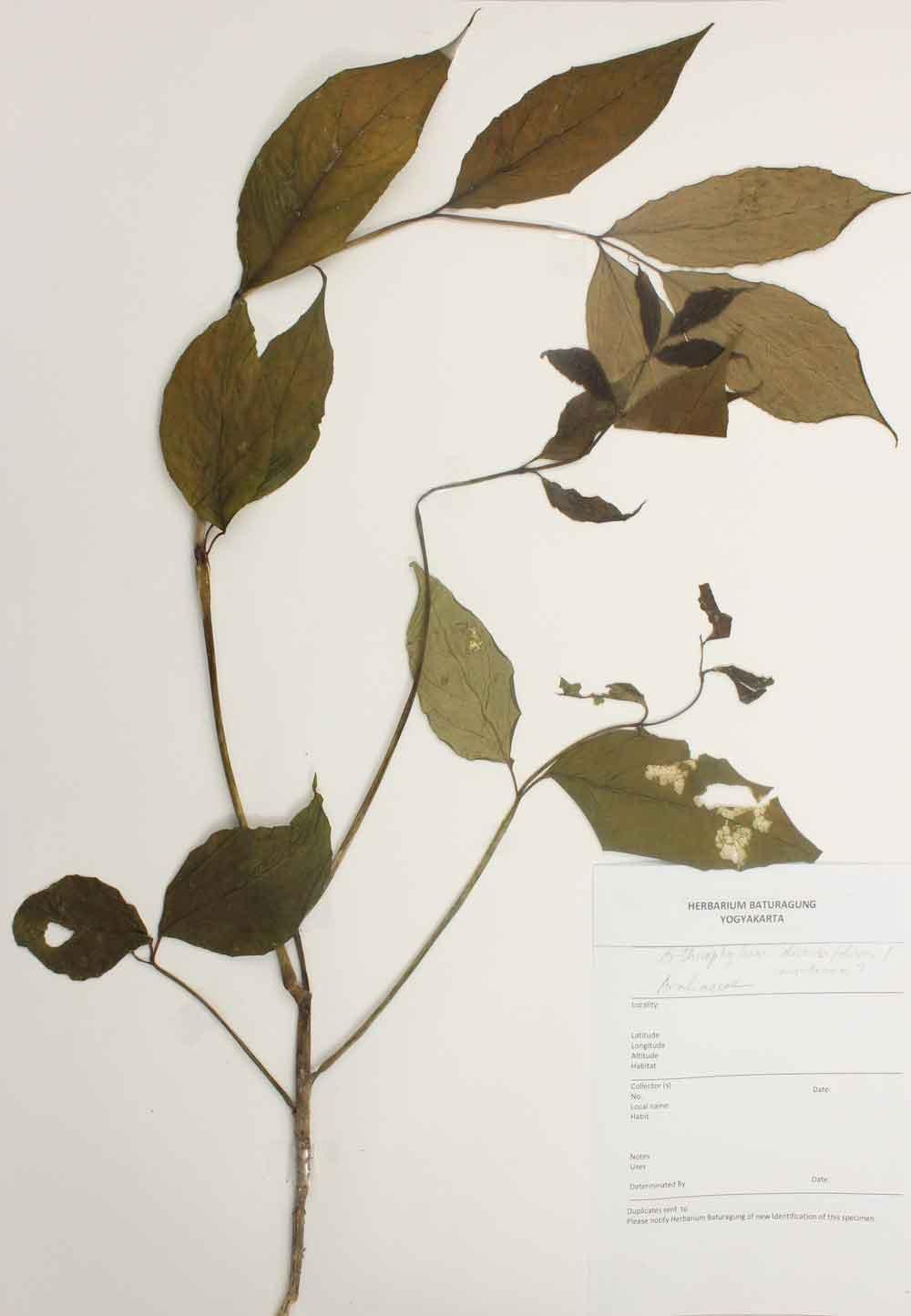 Herbarium Baturagung Yogyakarta cpIMG_0183
