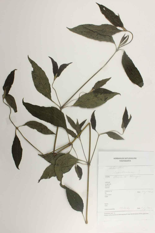 Herbarium Baturagung Yogyakarta cpIMG_0190