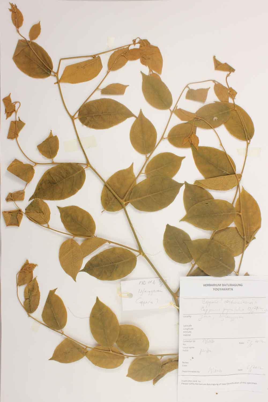 Herbarium Baturagung Yogyakarta cpIMG_0290